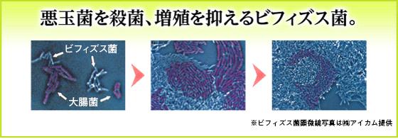 悪玉菌を殺菌、増殖を抑えるビフィズス菌。