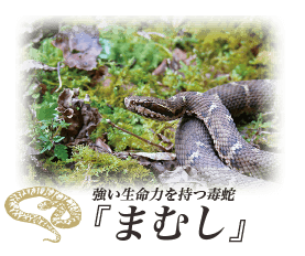 強い生命力を持つ毒蛇『まむし』